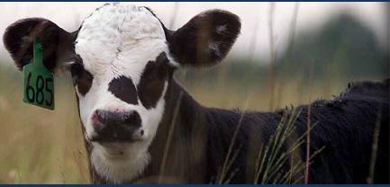 Руководство для секса с коровой
